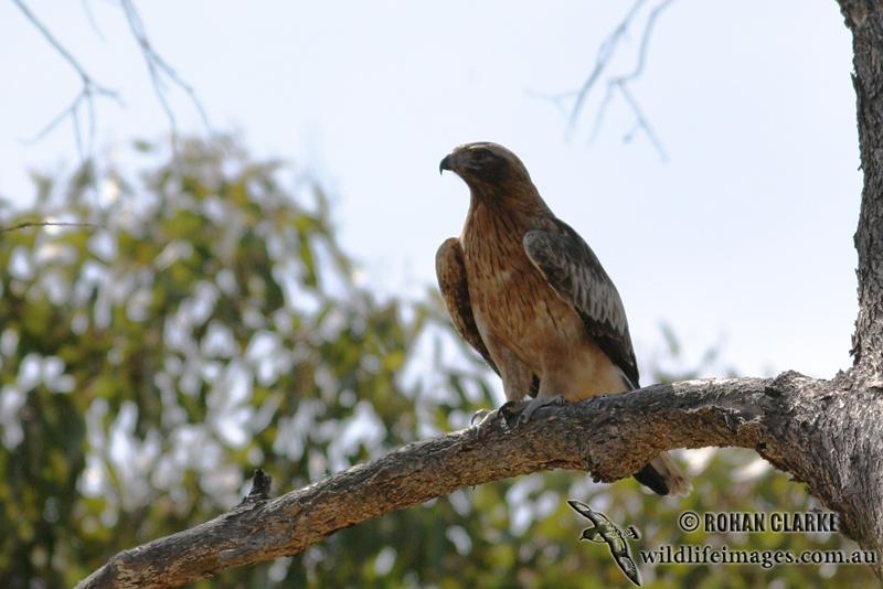 Little Eagle 8223.jpg