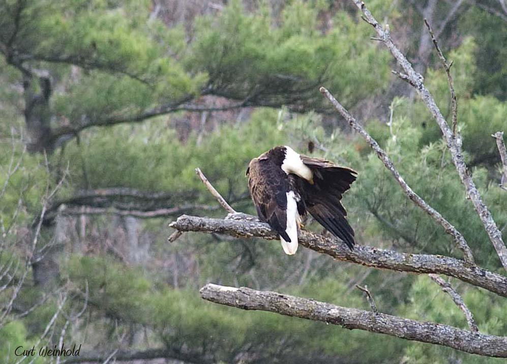 Eagle preening