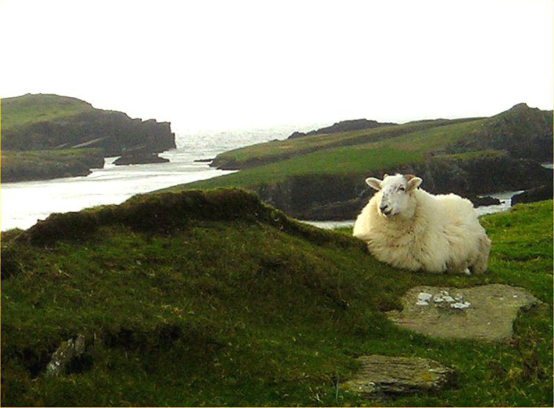 Posing sheep at Valentia Island