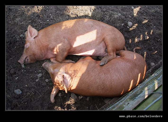 Sleepy Tamworth Pigs #1, Black Country Museum
