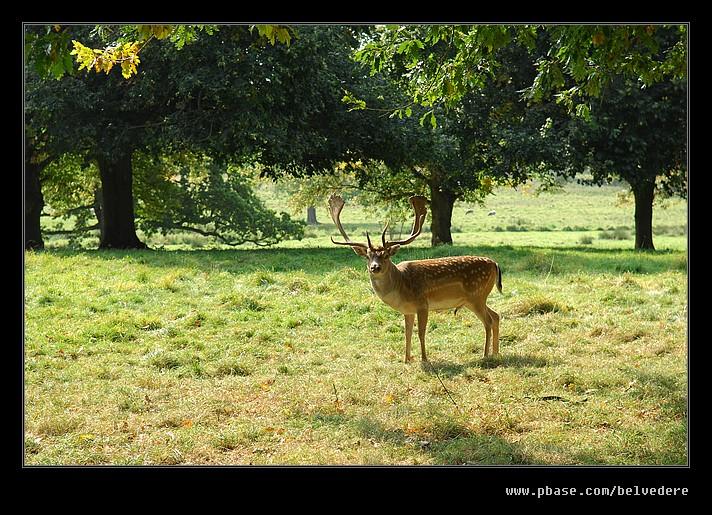 Fallow Deer, Charlecote Park