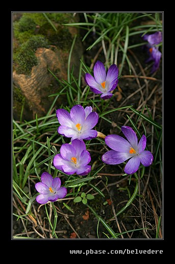Springtime Crocus, Pitts Cottage, Black Country Museum