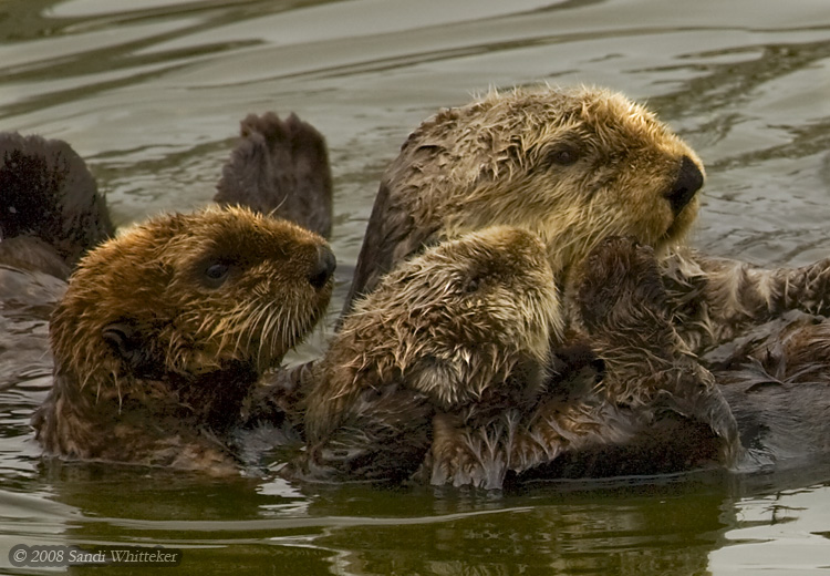 Sea Otters - Too Cute for Words!