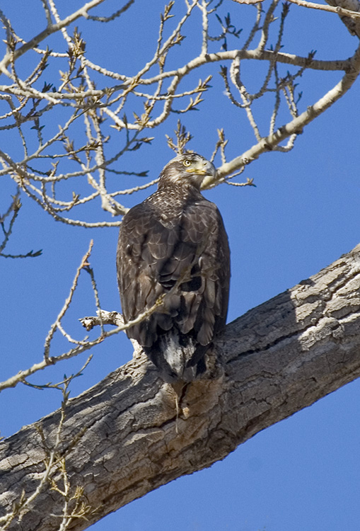 2 year old bald eagle,