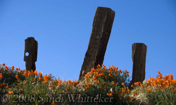 Poppies and Posts