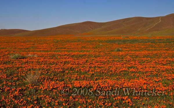 Poppies and Poppies and Poppies...