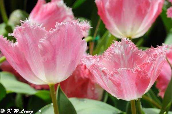 Tulip DSC_6739