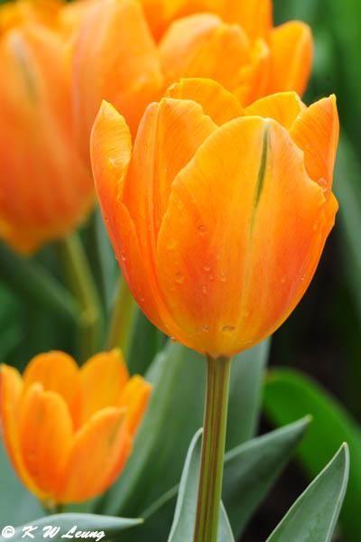 Tulip DSC_6715