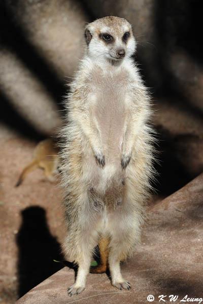 Meerkat (DSC_3828)