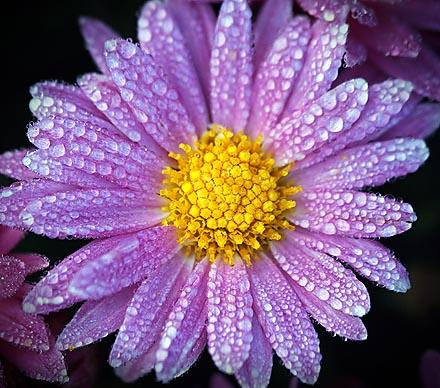 Dewy Purple Flower 20080924