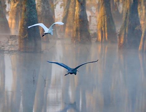 Egret & Heron In Flight 26215