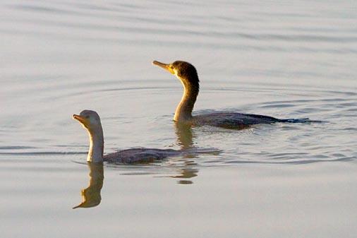 Two Cormorants 26254