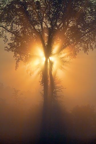 Tree In Foggy Sunrise 21209