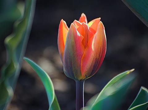 Backlit Orange Tulip 88607