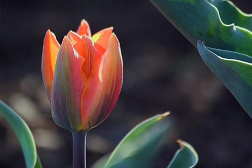 Backlit Orange Tulip 88606