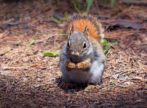 Red Squirrel 88899