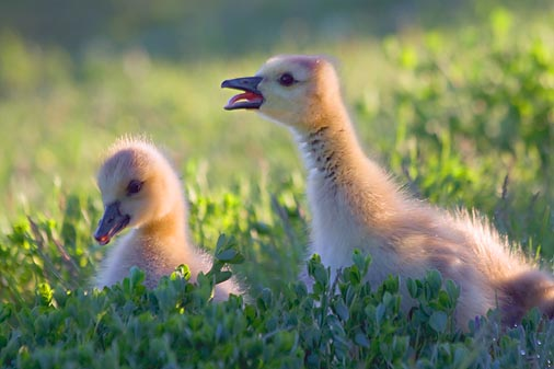 Goslings In The Grass 20080528