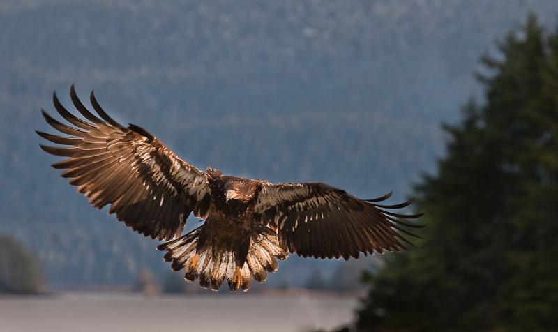 imt bald eagle 800-5770.jpg