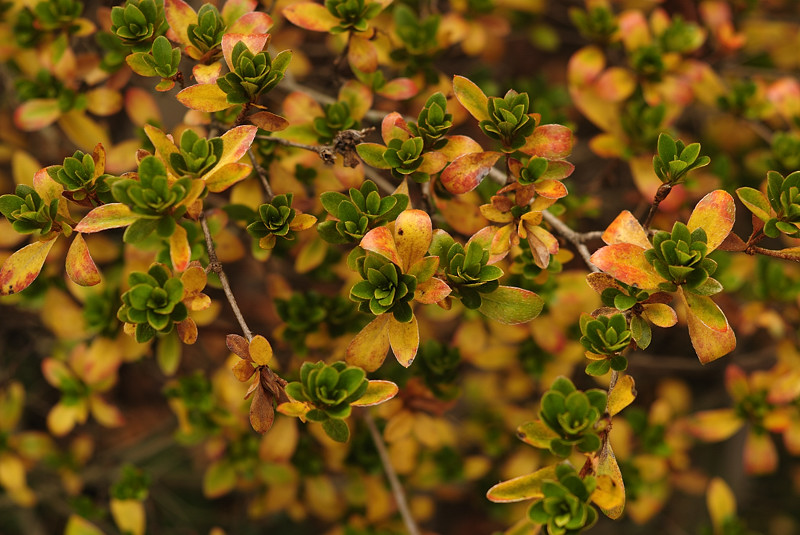 Azalea Fall Colors