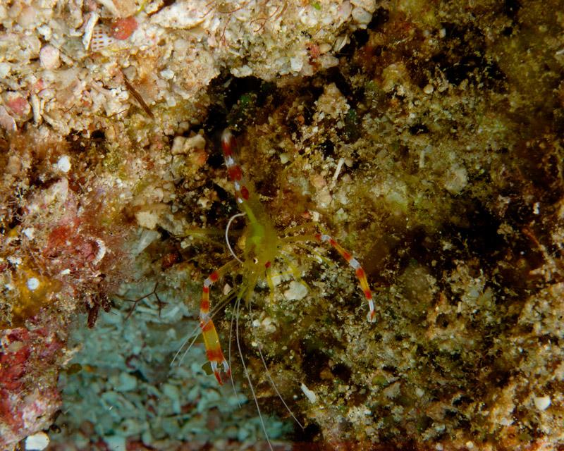 Golden Coral Shrimp
