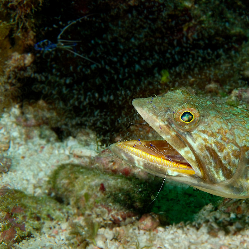 Sand Diver with Pederson Cleaning Shrimp