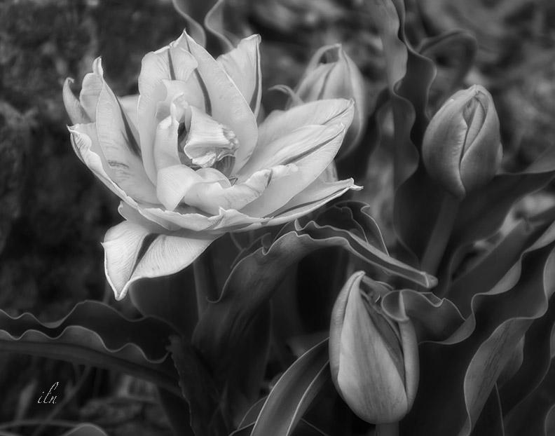 the earliest tulip