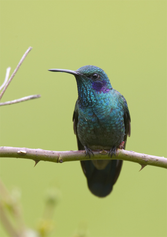 Green-Violetear.jpg