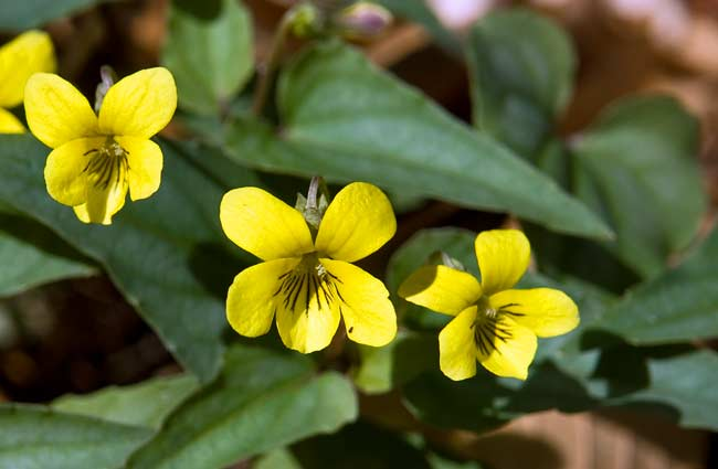 Halberd-leaf Yellow Violet 1
