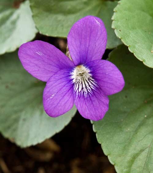 Purple Violet 2