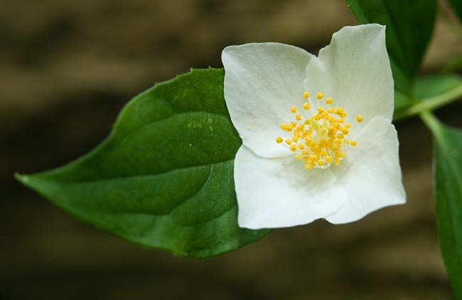 Scentless Mock Orange 1