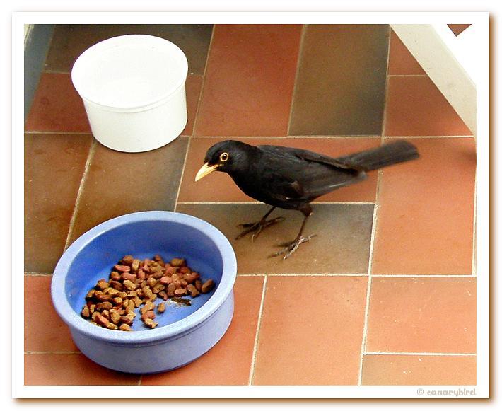 Blackbird on Patio.jpg