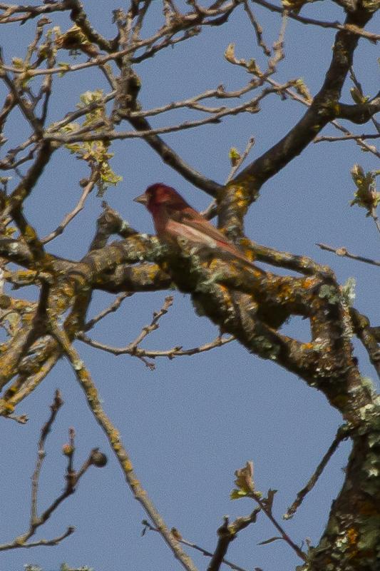 Purple Finch - IMG_2888.JPG