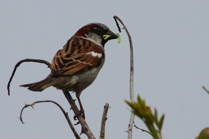 house sparrow / huismus, WK