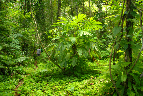 Solomon Islands Rainforest