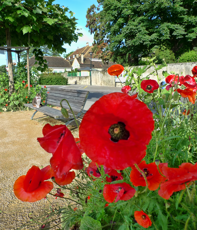 Early morning poppies...