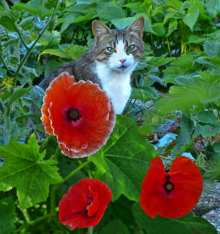 Ambush among poppies