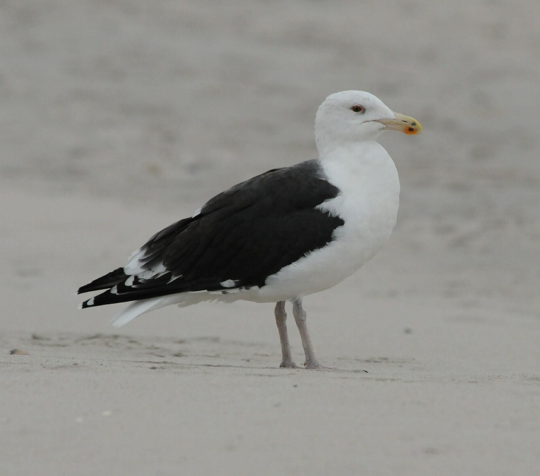 Great Black-backed Gull_Cape May_1_SS.jpg