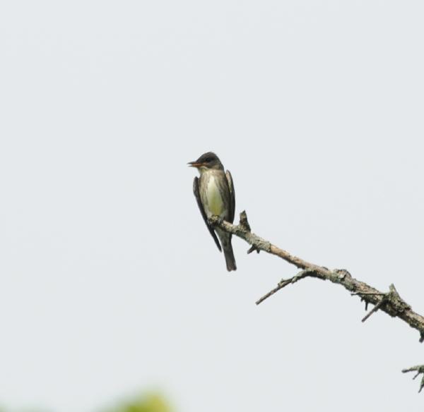 Olive-sided Flycatcher_1.jpg