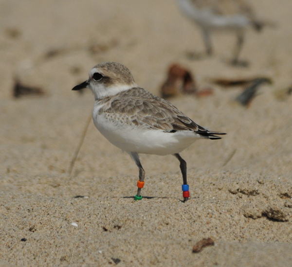 Snowy Plover- color banded
