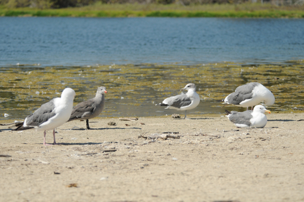 Western, Heermans and California Gulls