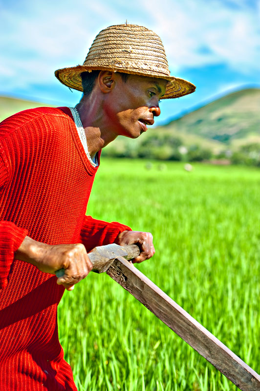 Working the rice