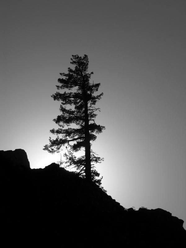One pine at a time in BW