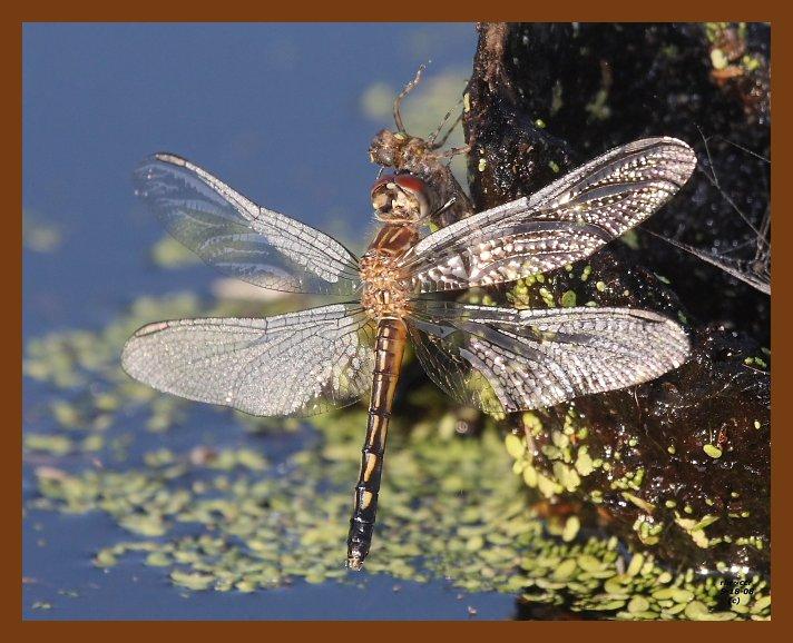 dragonfly 5-18-08-4d564b.jpg