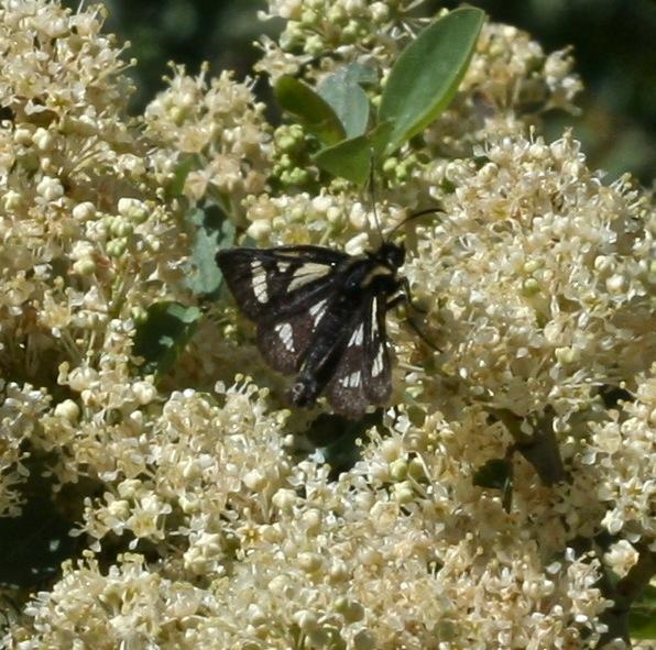 Gnophaela discreta, 8036, Sierra