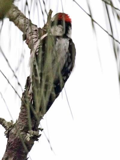 Woodpecker-ID.jpg