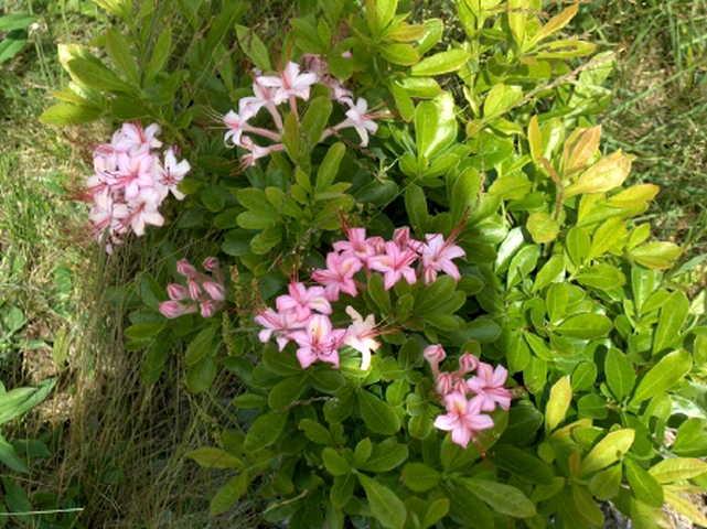 <i>arborescens</i> x <i>prunifolium</i>