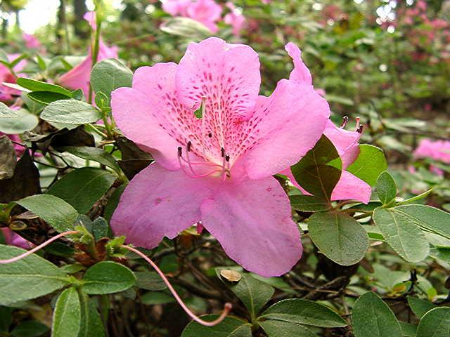 Hoosier Rose