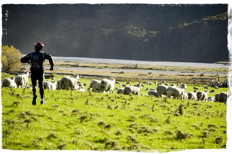 Chasing Sheep in Makarora!