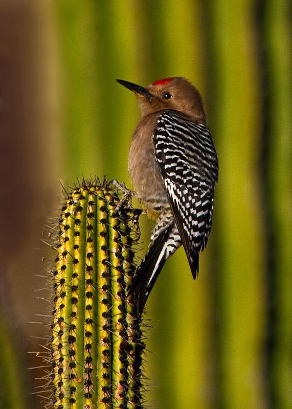 Prickly Perch-Gila Woodpecker