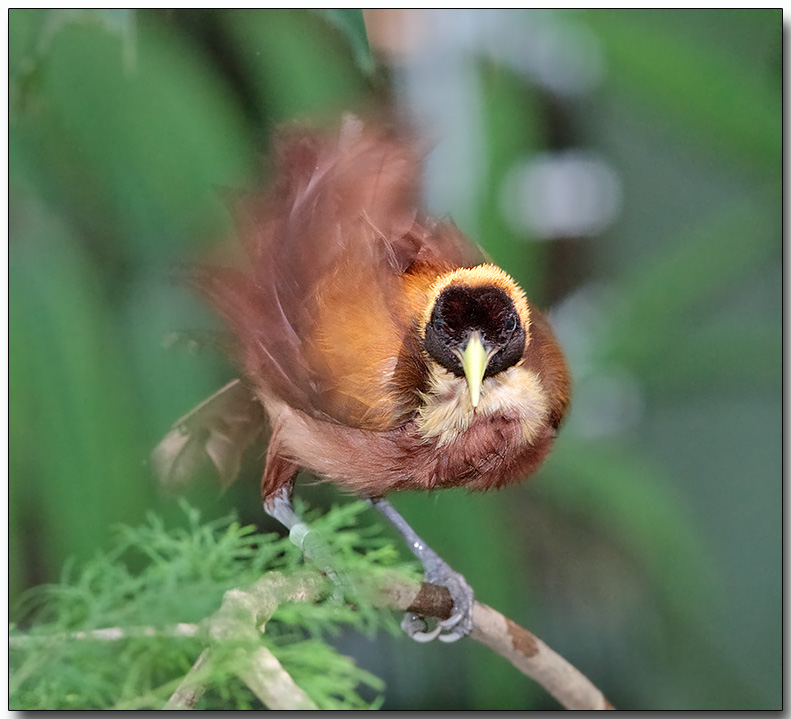 Red Bird of Paradise - Wing exercise